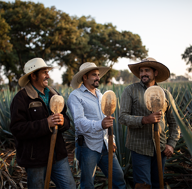 Three jimador brothers standing side by side in a field of agave plants holding coa de jima harvesting tools.
